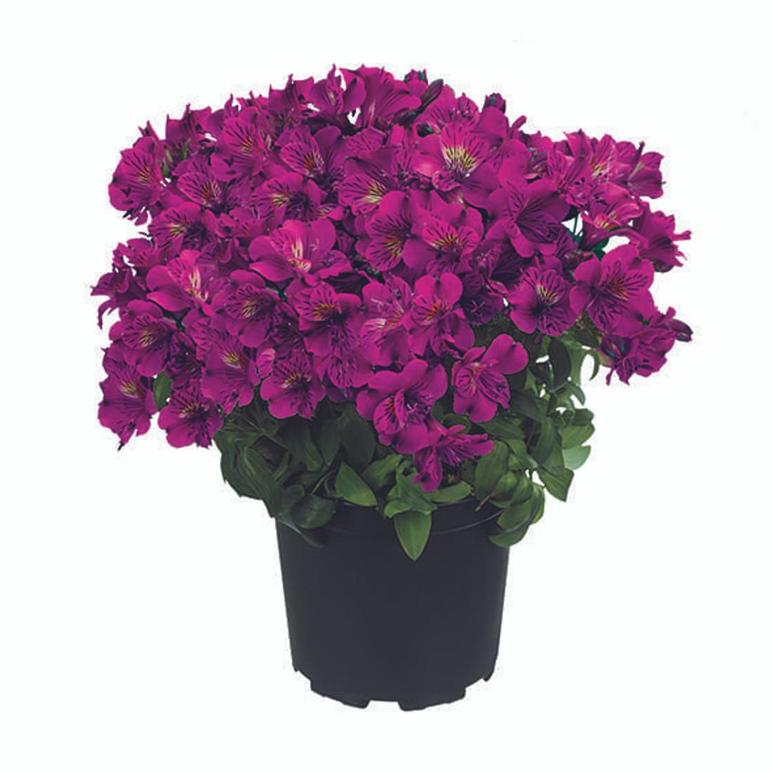 Alstroemeria Princess Lilies® 'Tamara'