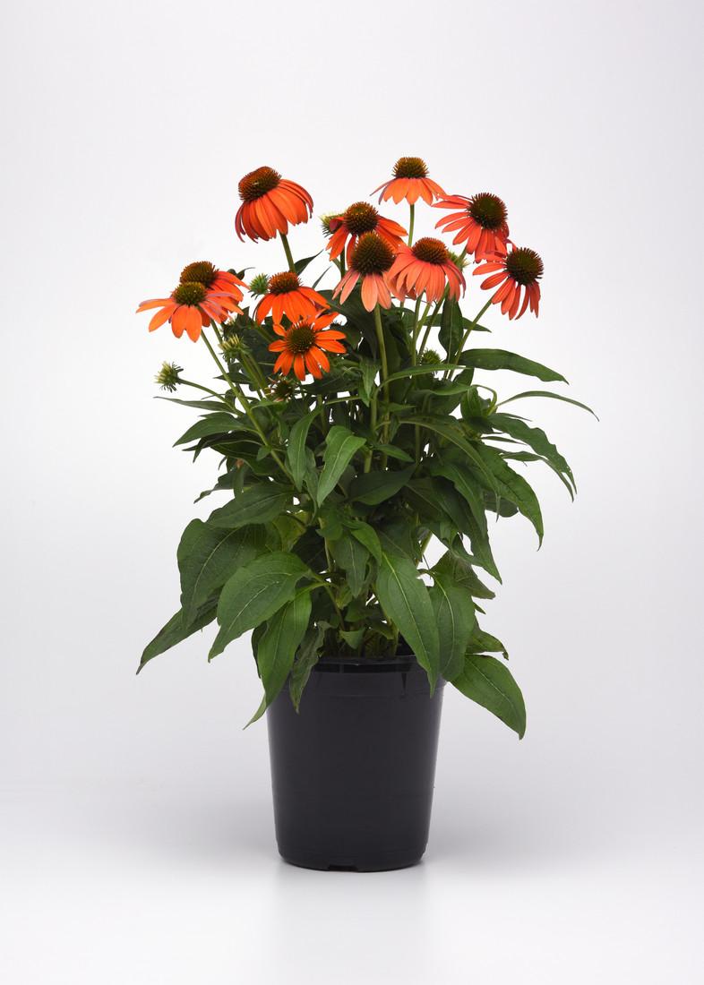 Echinacea hybrida Artisan™ 'Soft Orange'