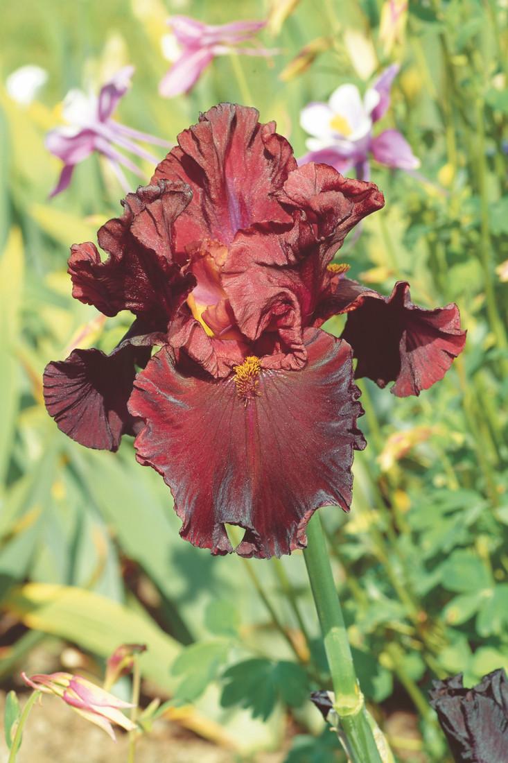 Iris germanica 'Red Raptor'