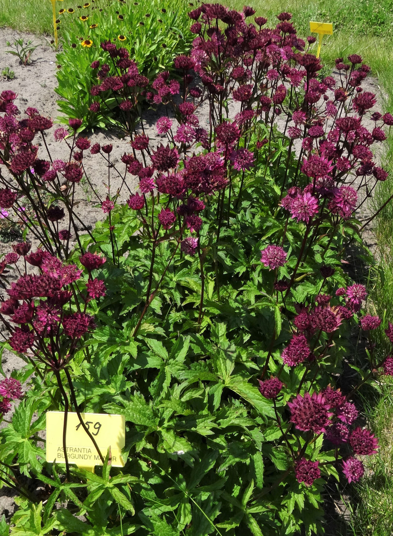 Astrantia major 'Burgundy Manor'