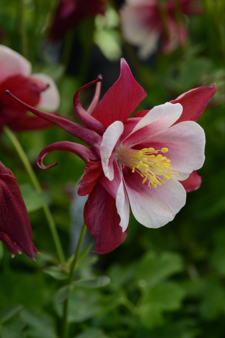 Aquilegia  'Earlybird™ Red White'