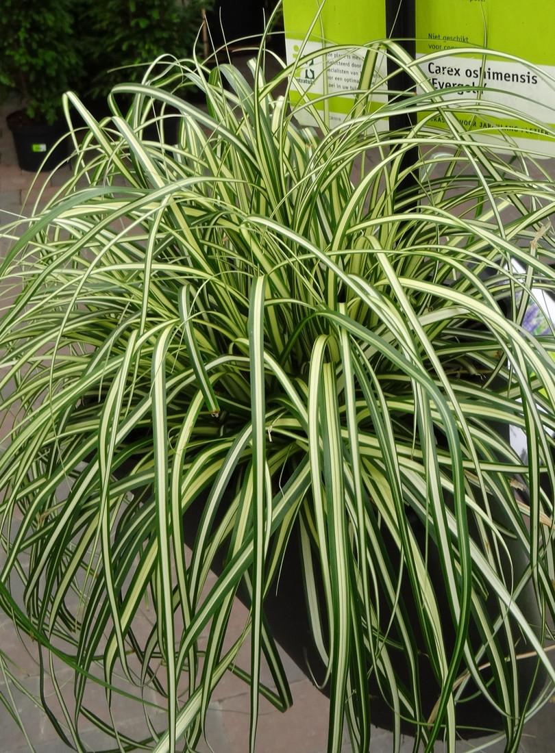 Carex oshimensis EverColor® 'Evergold'