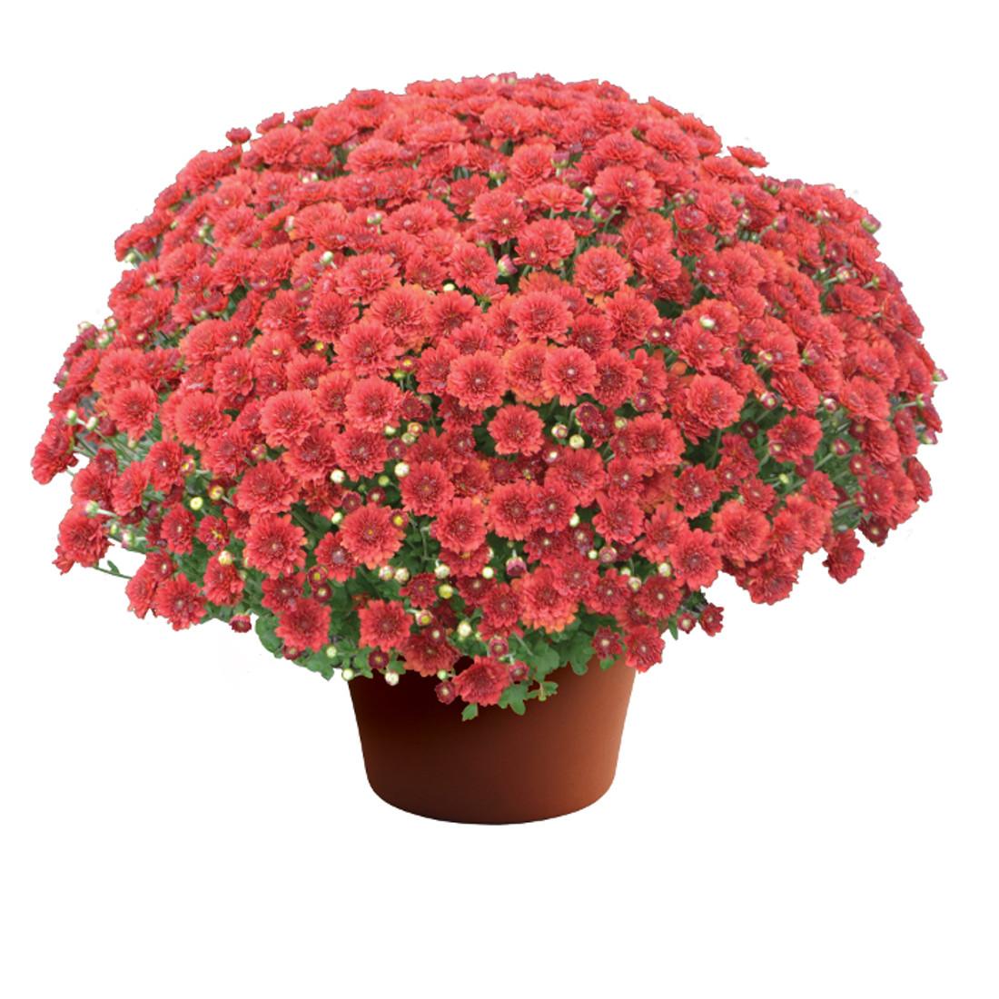 Chrysanthemum 'Aideen™ Red Fire'