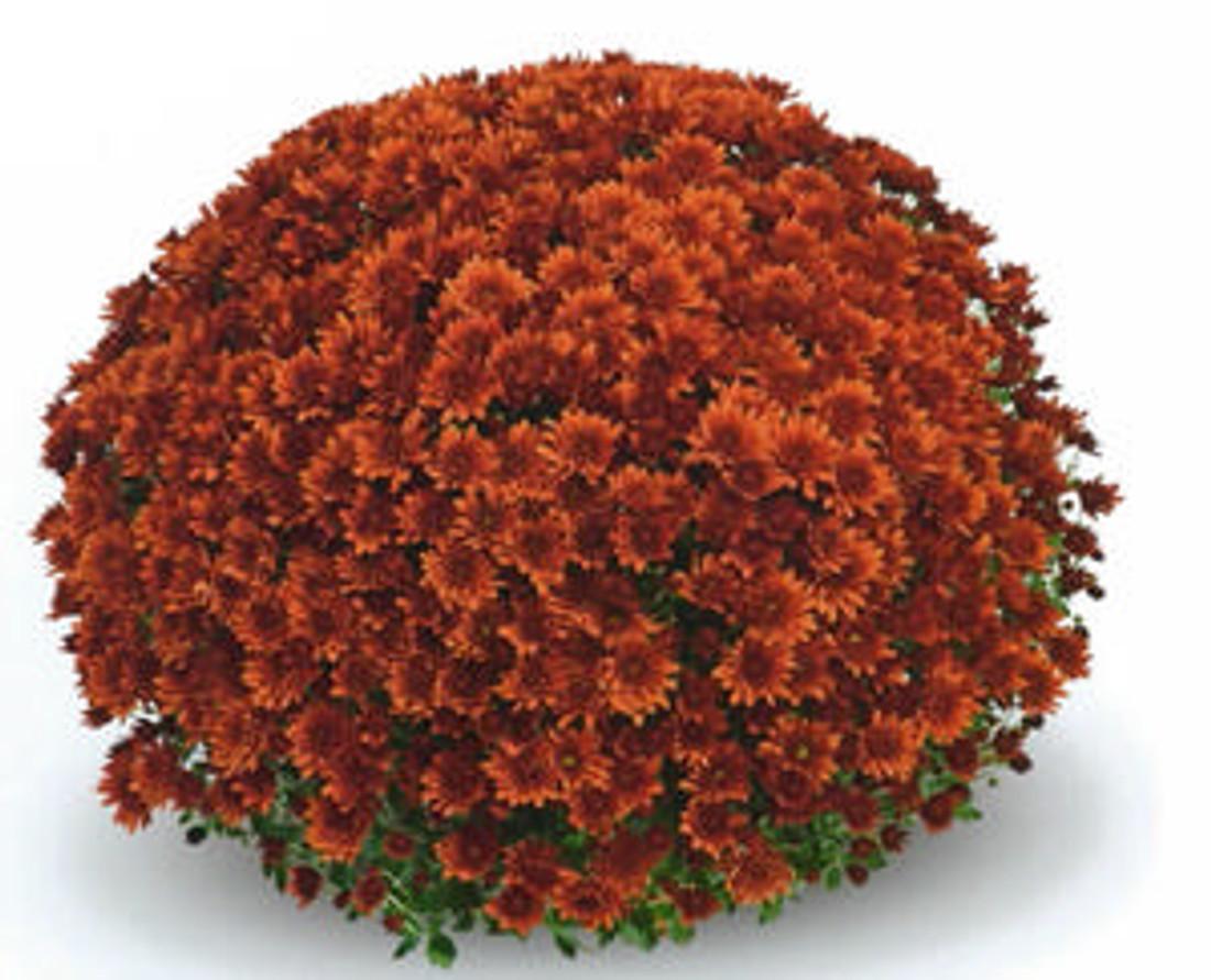 Chrysanthemum 'Belgian Mums® Antica Bronze'