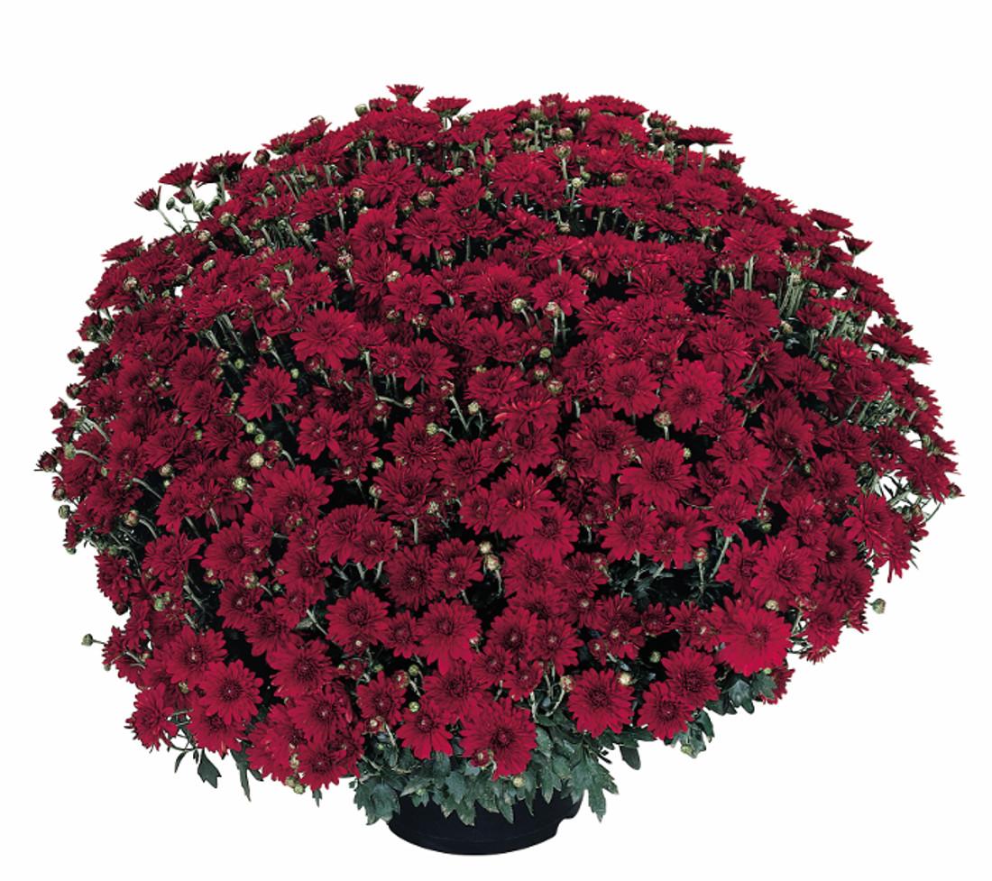 Chrysanthemum 'Camina Red'