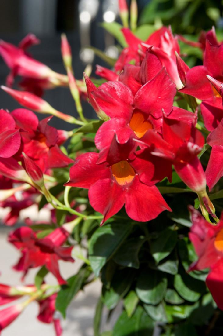 Mandevilla Sun Parasol® 'Original Crimson'