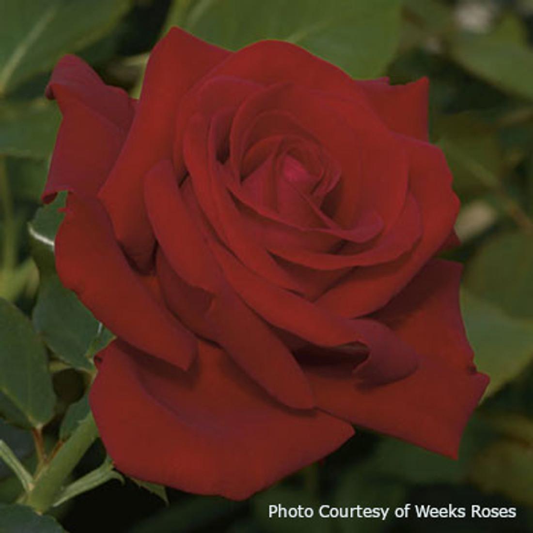 Rosa  'Drop Dead Red™'