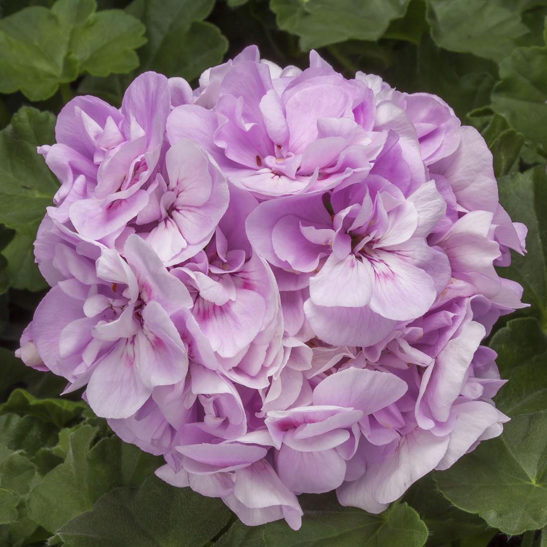 Pelargonium  'Calliope Light Lavender '