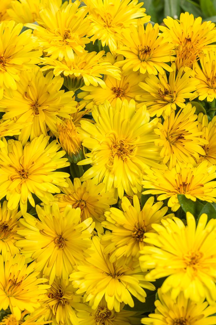 Calendula 'Lady Godiva® Yellow'