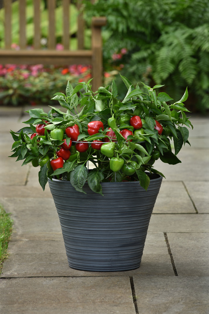 Pepper 'Snackable Red'
