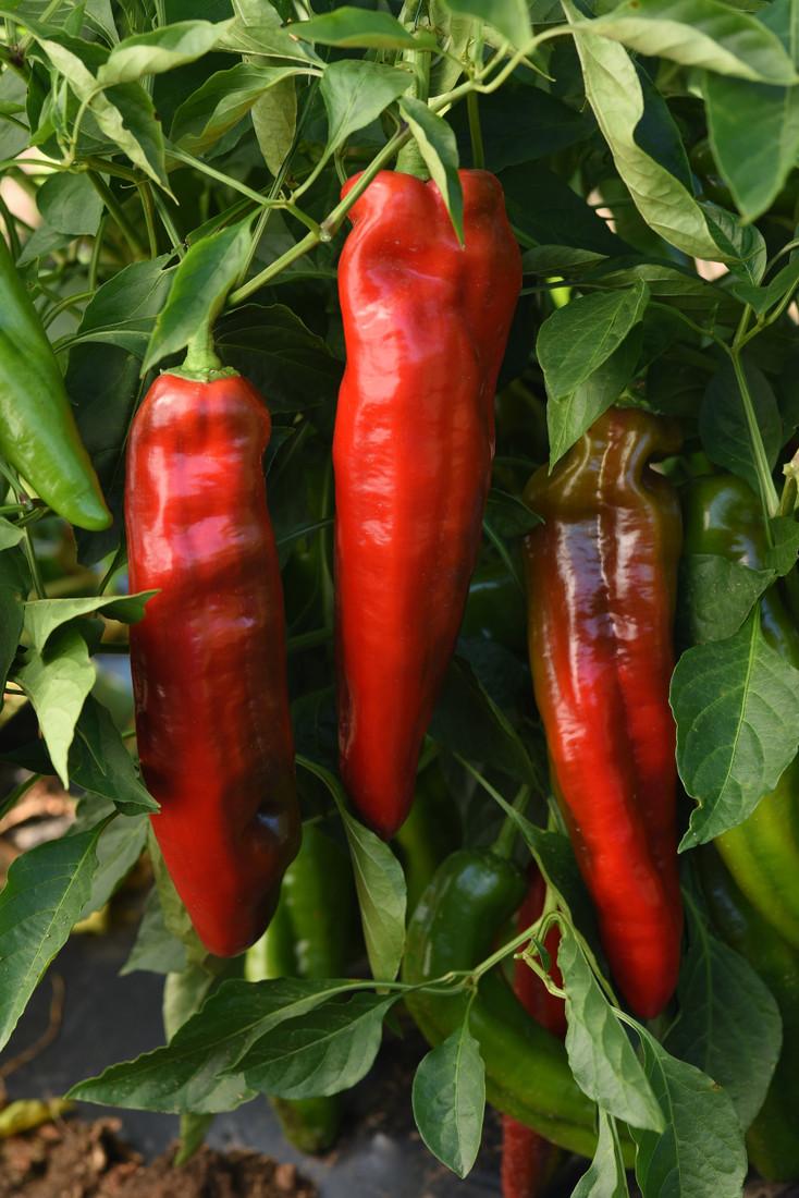 Pepper 'Peppi Grande Red'