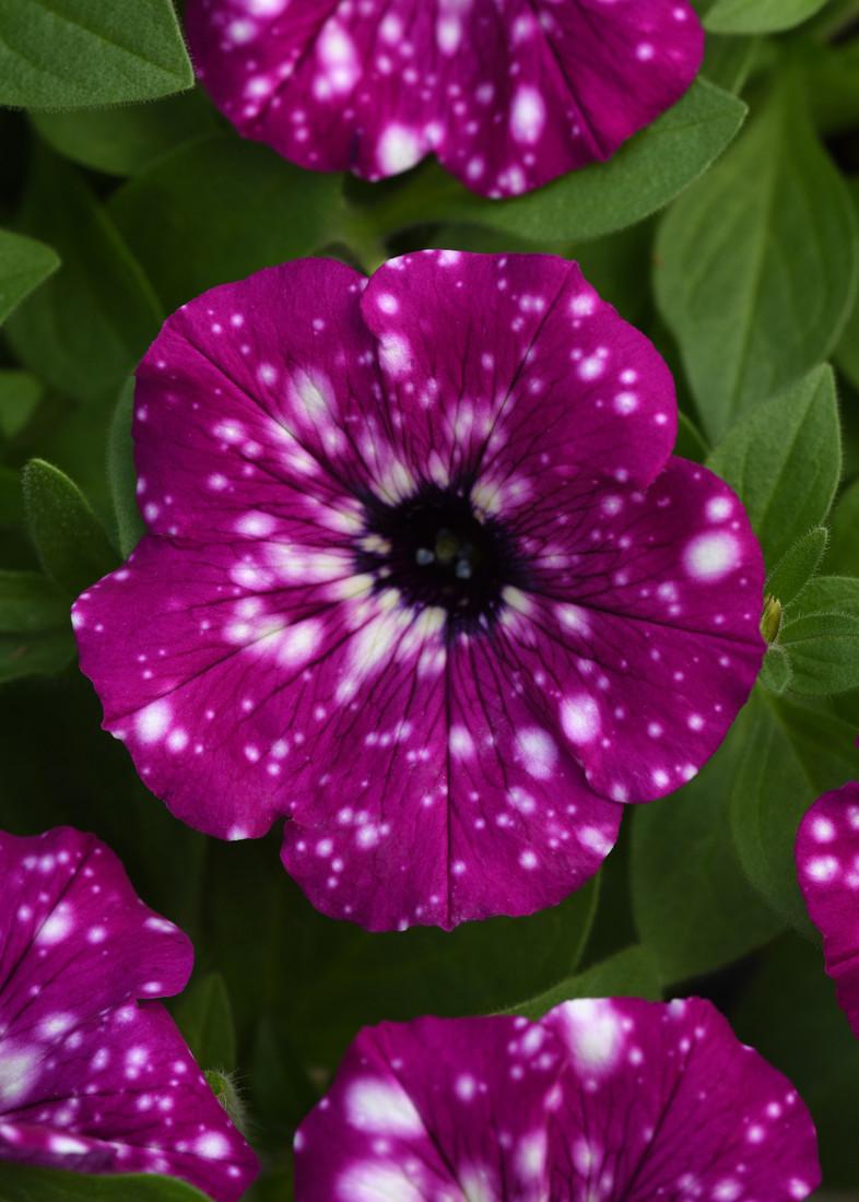 Petunia hybrida 'Electric Purple Sky' bloom