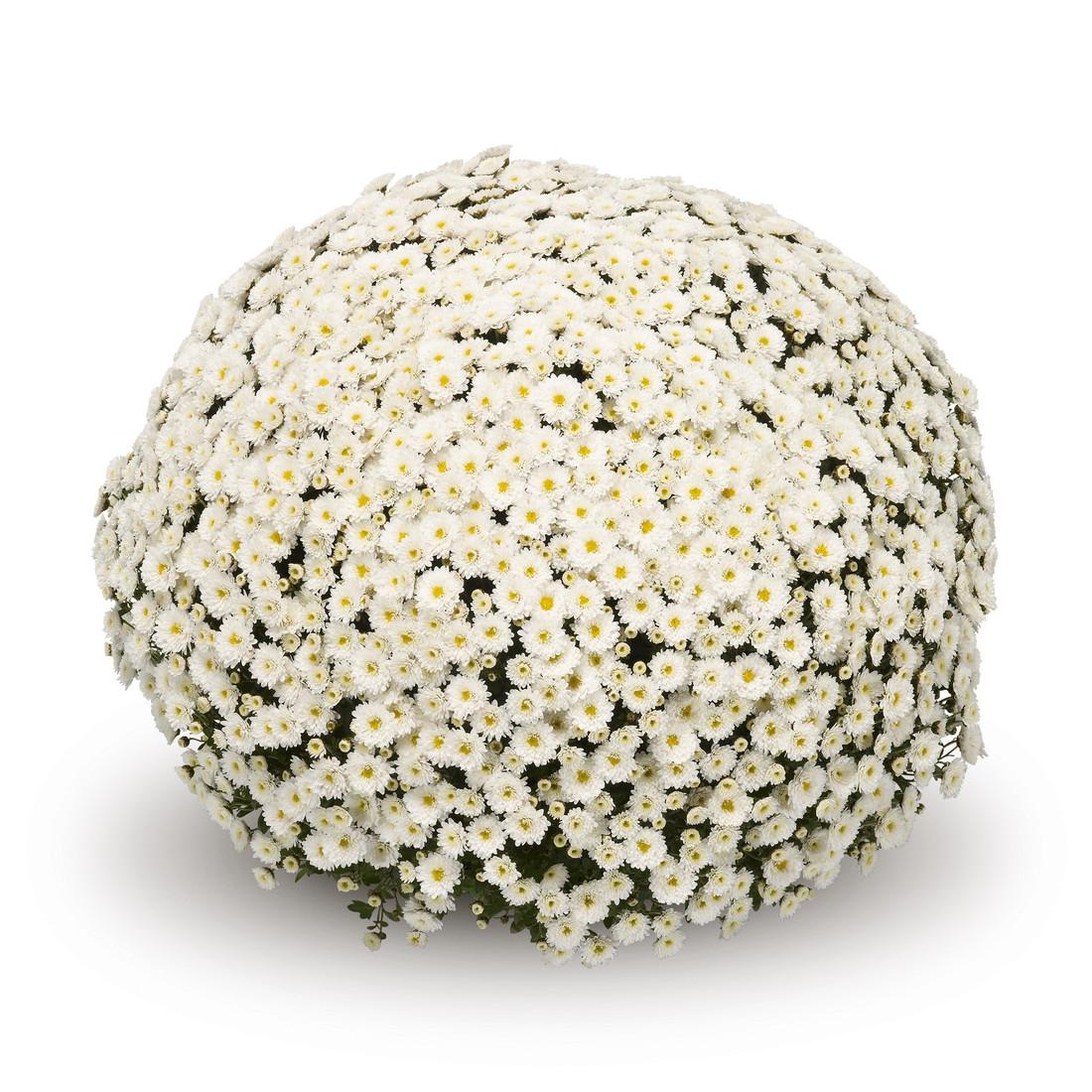 Chrysanthemum 'Belgian Mums© Staviski White'