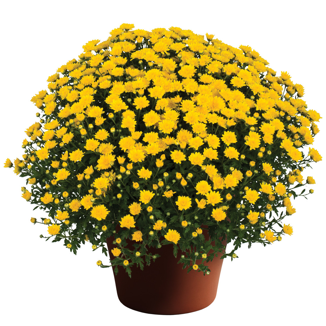 Chrysanthemum 'Elena™ Gold' - 10 Inch Pot