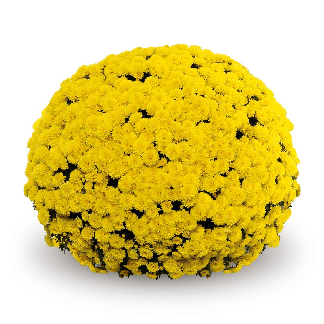 Chrysanthemum 'Belgian Mums© Mouria Yellow'