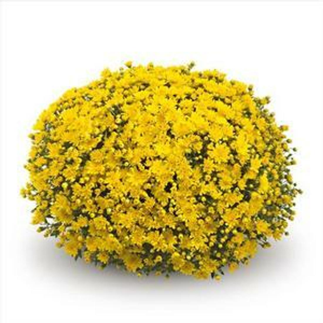 Chrysanthemum 'Belgian Mums© Conella Yellow'
