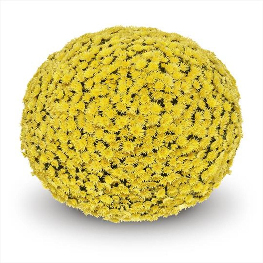 Chrysanthemum 'Belgian Mums® Possidi™ Yellow'