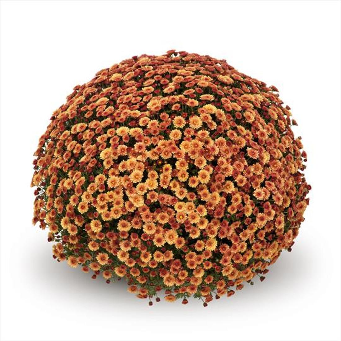 Chrysanthemum 'Belgian Mums© Staviski Orange'