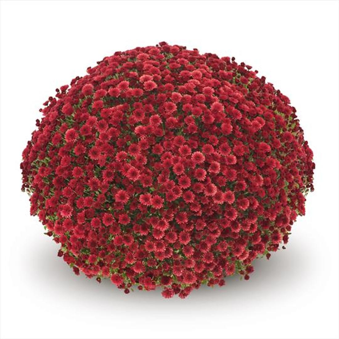 Chrysanthemum 'Belgian Mums© Staviski Red'