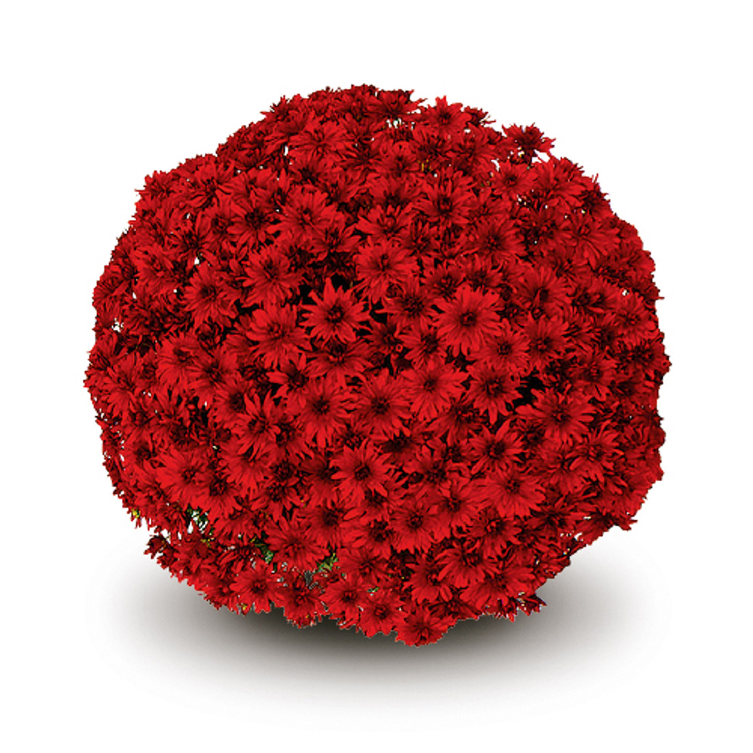Chrysanthemum 'Belgian Mums© Amadora Red'