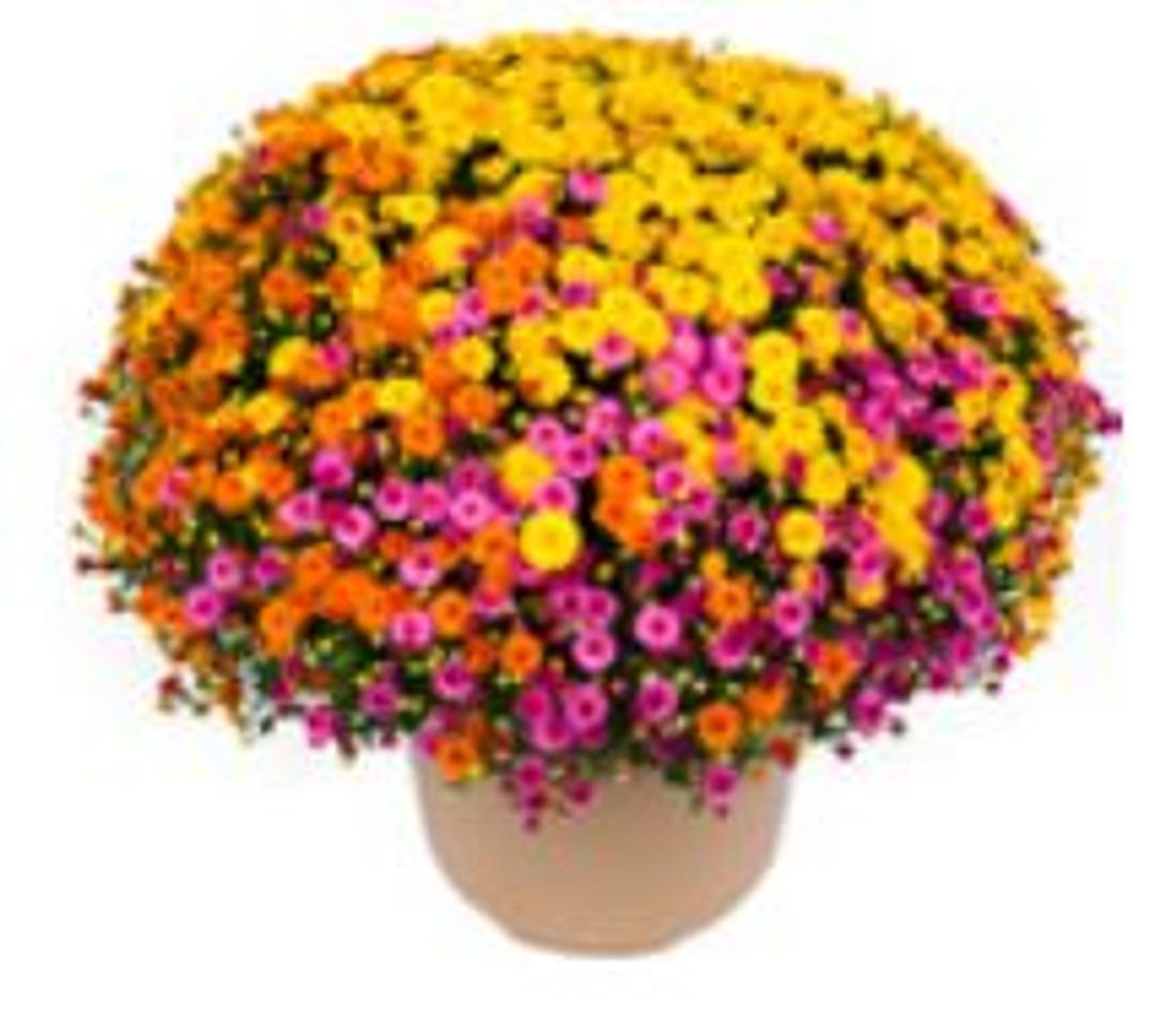 Chrysanthemum 'Gigi™ Acorn Lane Mix'-10 Inch Pot
