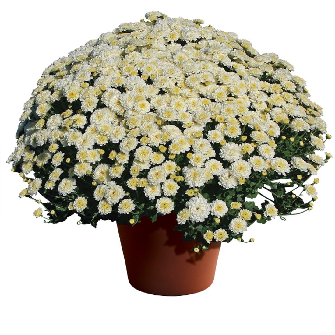 Chrysanthemum Gigi™ Snow