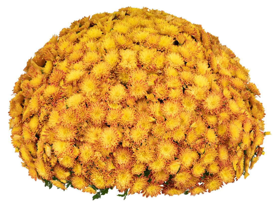 Chrysanthemum Tiger Eyes  plant