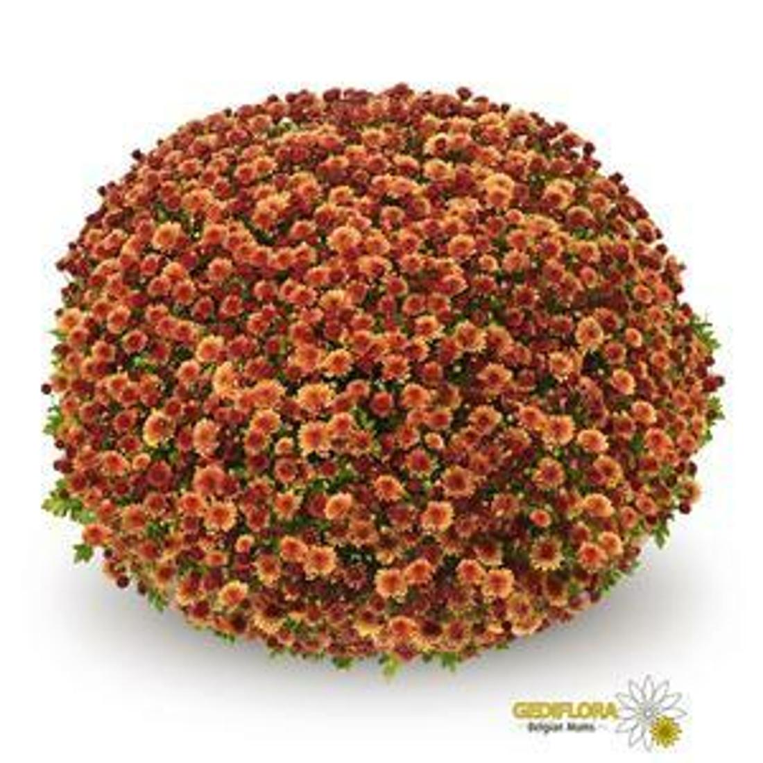 Chrysanthemum 'Belgian Mums® Jasoda Orange'
