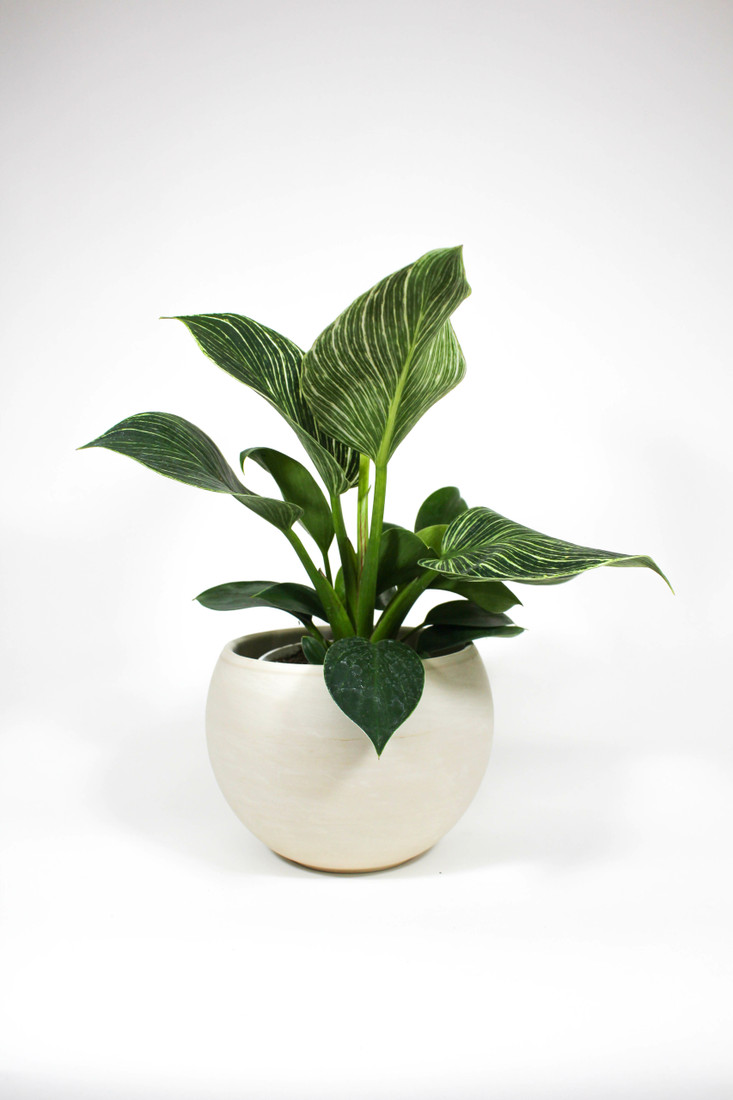 Philodendron 'Birkin' in ceramic pot