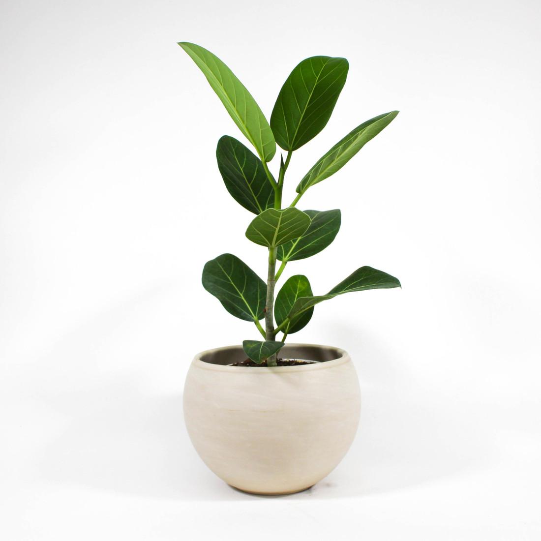 Ficus Altissima in ceramic pot