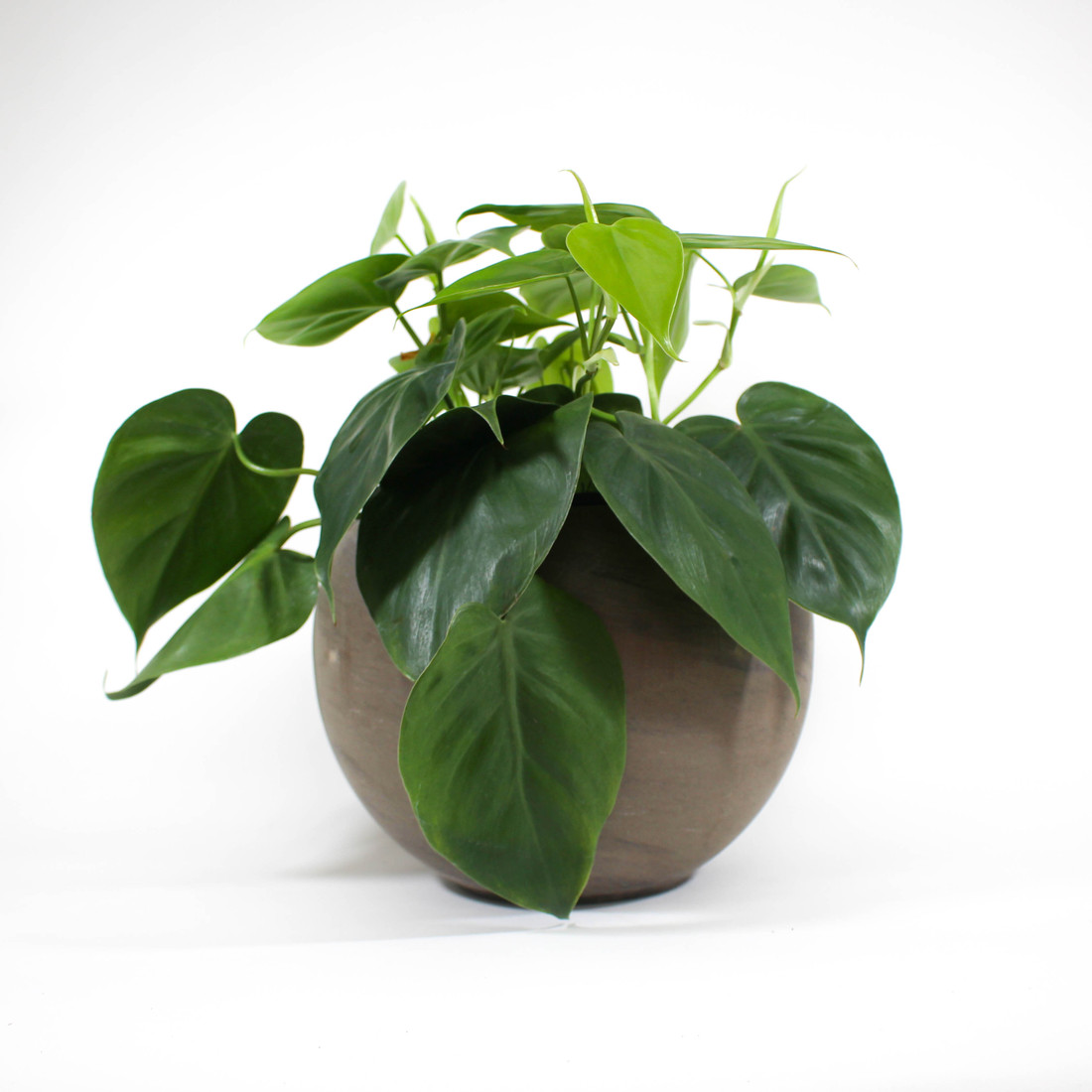 Heart Leaf Philodendron in ceramic pot