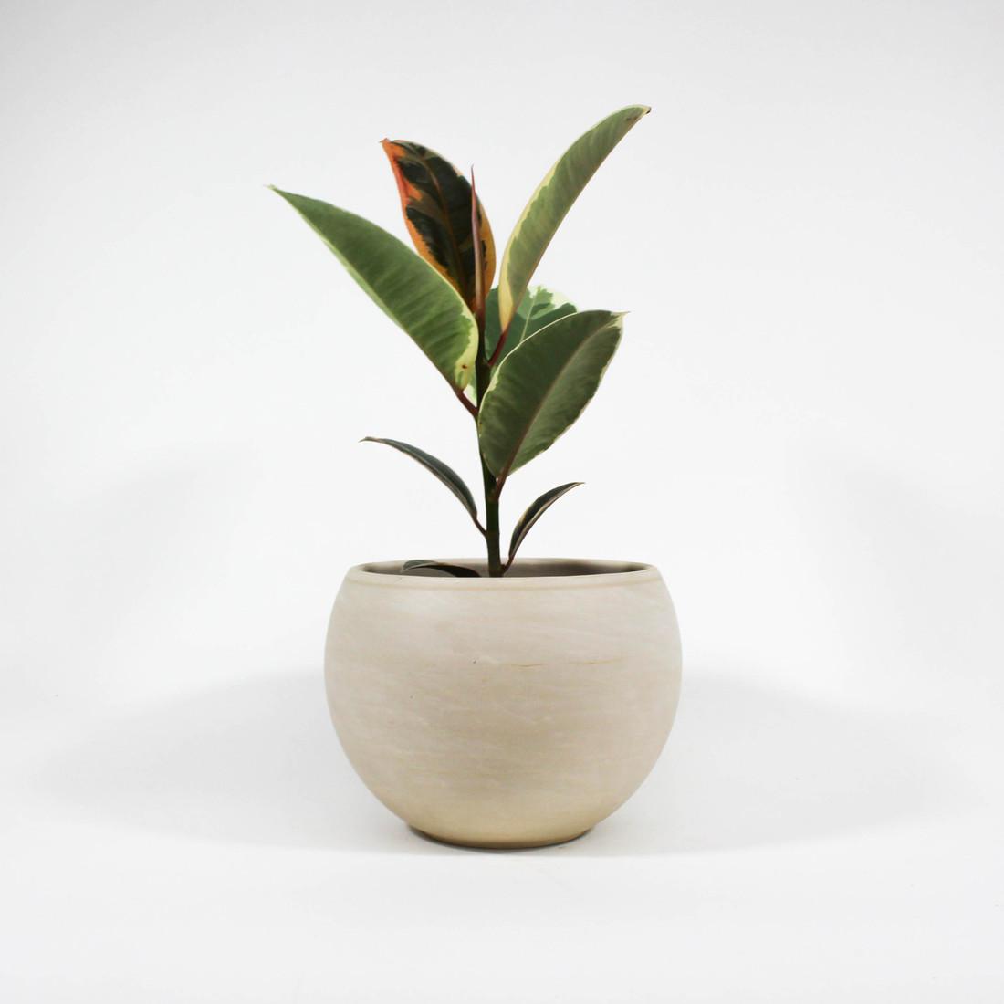 Ficus Elastica 'Tineke' in ceramic pot