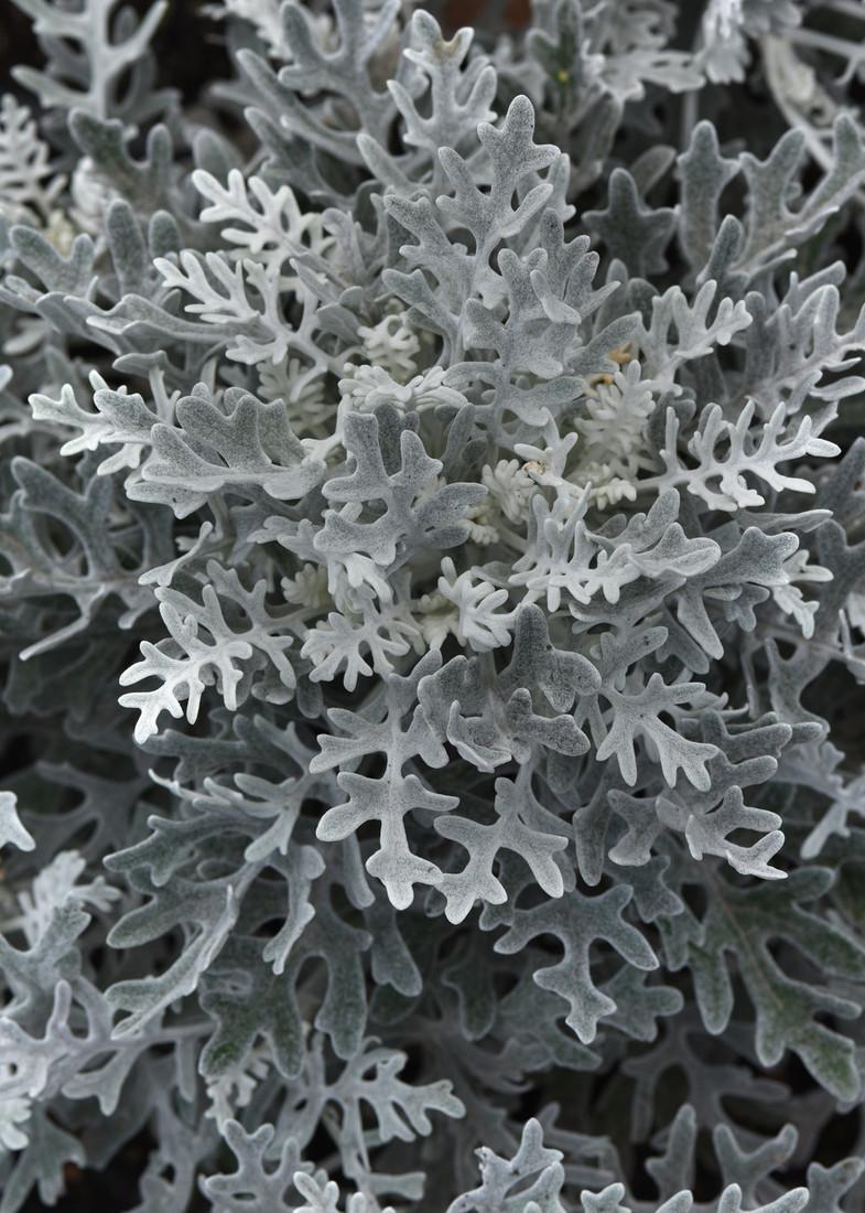 Jacobaea maritima 'Dusty Miller Silver Dust'