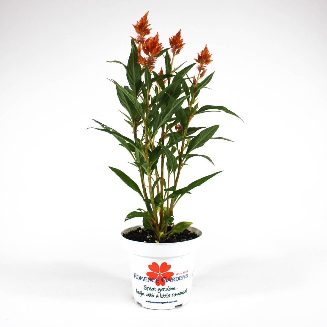"""Celosia 'Kelos® Fire Orange' in 4.5"""" Plastic Pot"""
