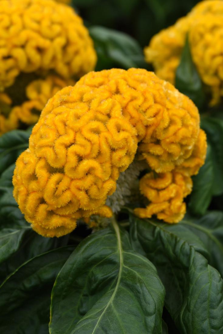 Celosia 'Concertina™ Yellow'