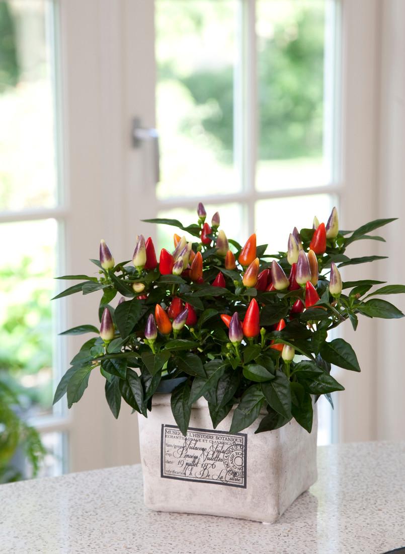 Ornamental Pepper 'Acapulco™ Multicolor'