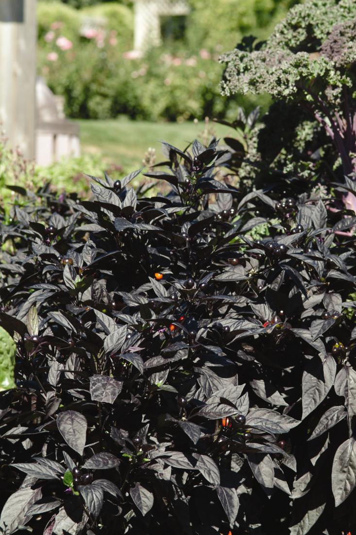 Ornamental Pepper 'Black Pearl'