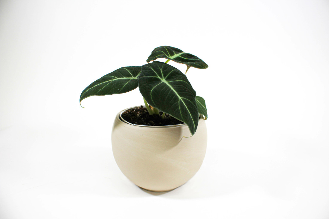 Alocasia reginula 'Black Velvet' in decorative pot