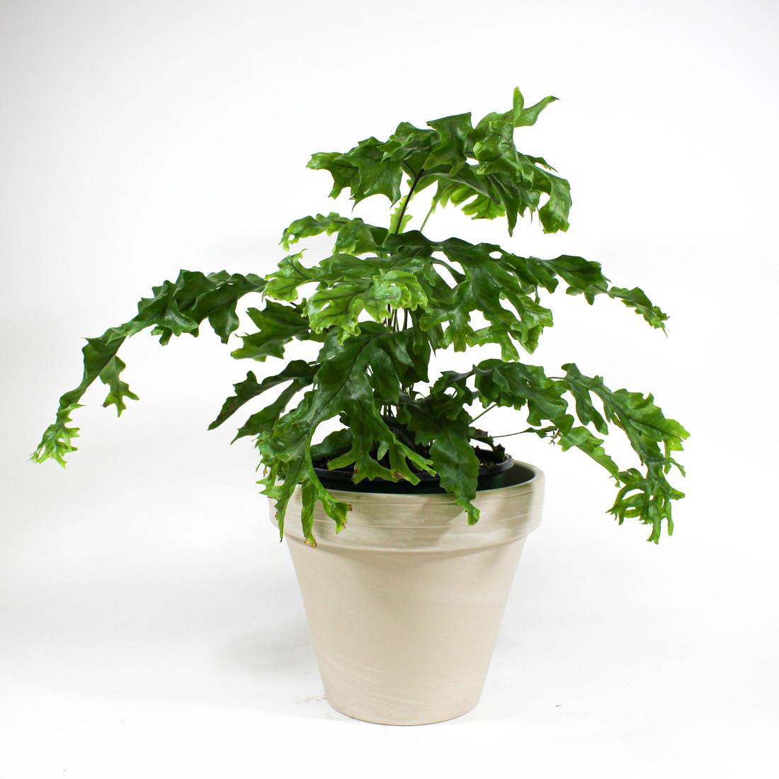 Phlebosia 'Nicholas Diamond' in decorative pot