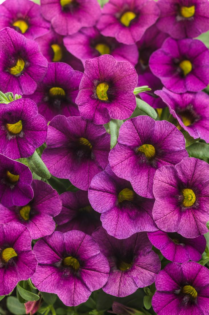 Calibrachoa hybrid 'Superbells® Plum' close up