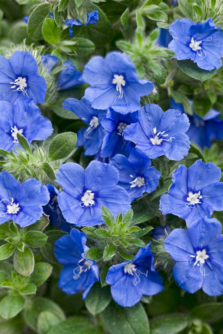 Evolvulus hybrid 'Blue My Mind®'