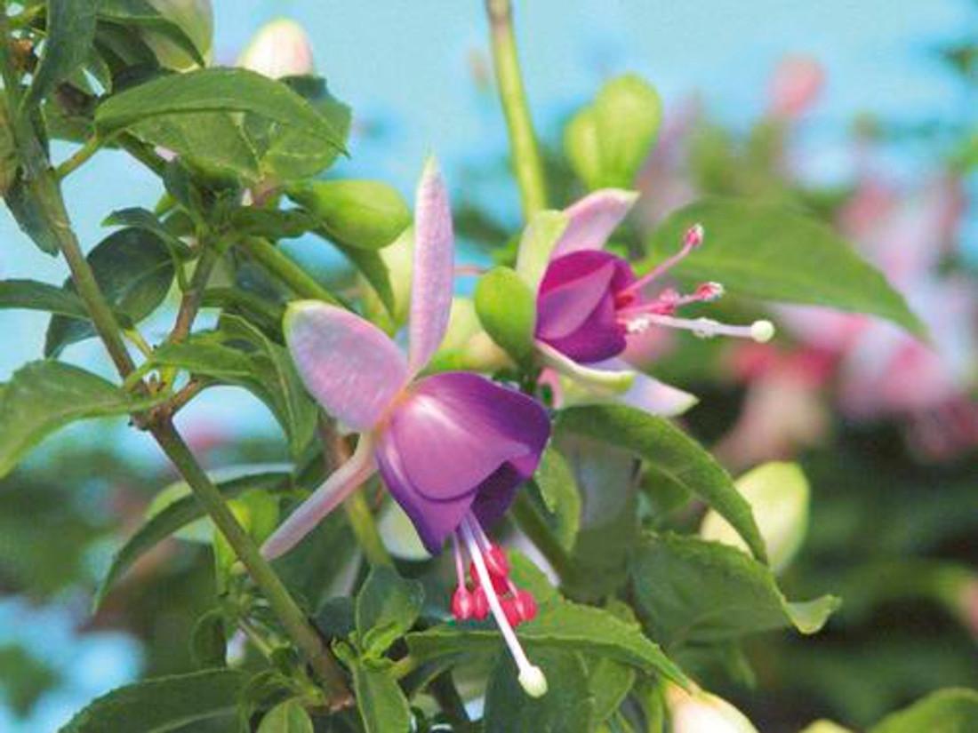 Fuchsia hybrid 'Shadow Dancer® Violette'