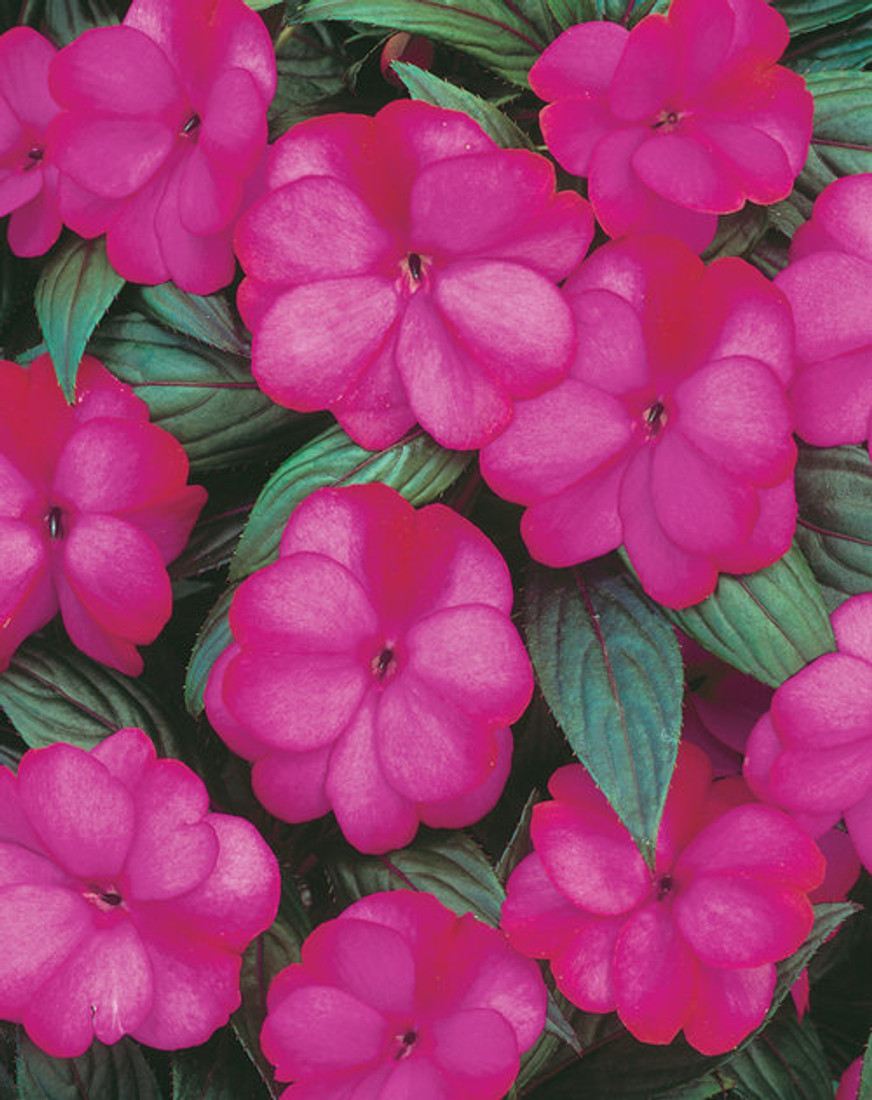 Impatiens hawkeri 'Infinity® Blushing Lilac' bloom