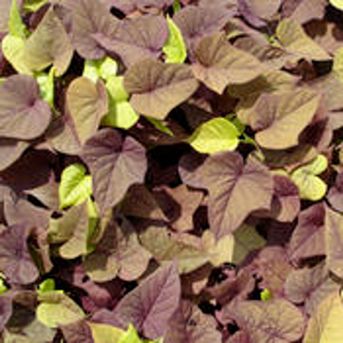 Ipomoea batatas 'Sweet Caroline Sweetheart Red' leaf