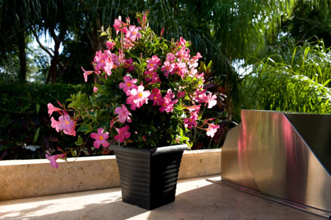 Mandevilla Sun Parasol® 'Pretty Pink'