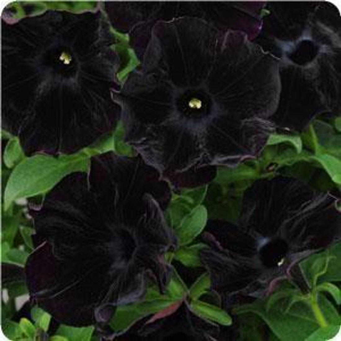 Petunia hybrida 'Black Magic'