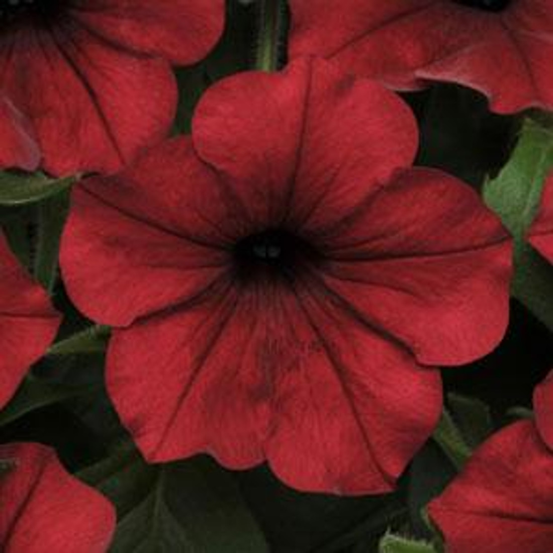 Petunia 'Tidal Wave® Red Velour'