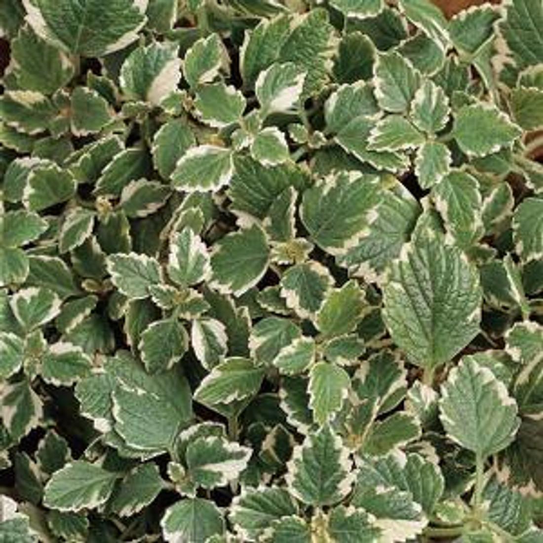 Plectranthus coleoides 'Variegata'