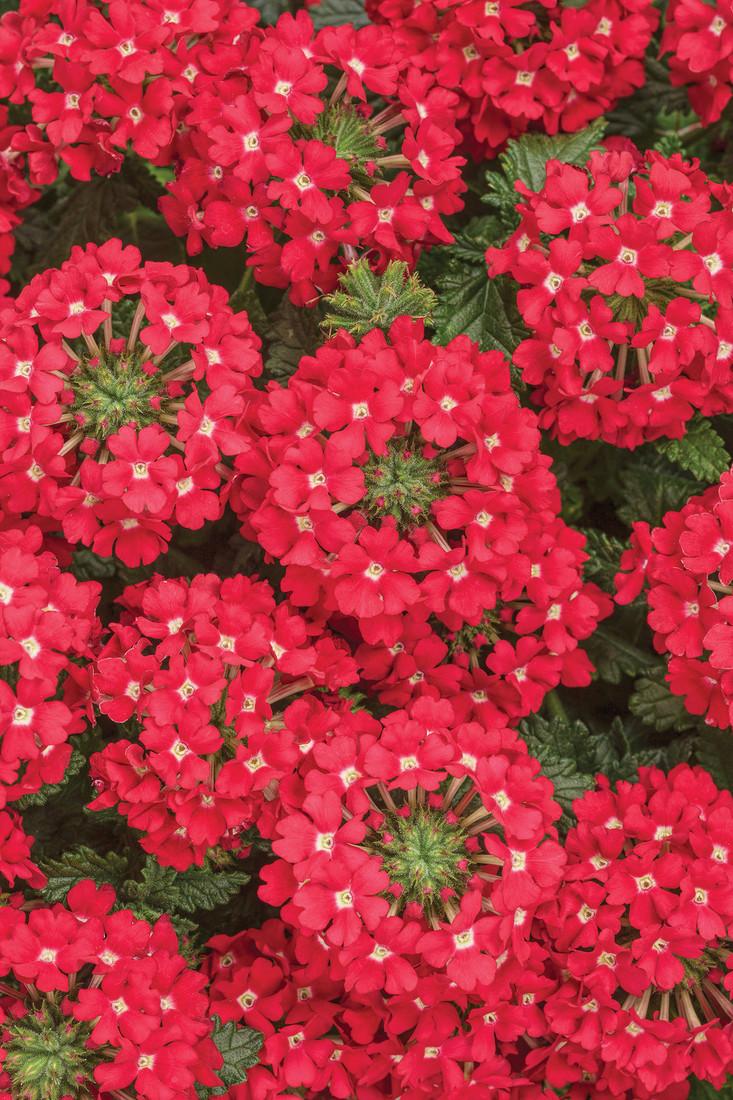 Verbena hybrid 'Superbena® Scarlet Star'