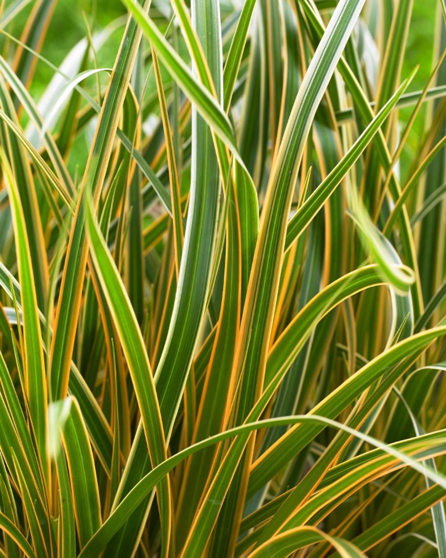 Carex morrowii EverColor® 'Everglow'